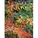 Spiraea gemmata - Spirée proche de Spiraea nipponica