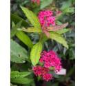 Spiraea japonica 'Dart's Red' - Spirée du Japon