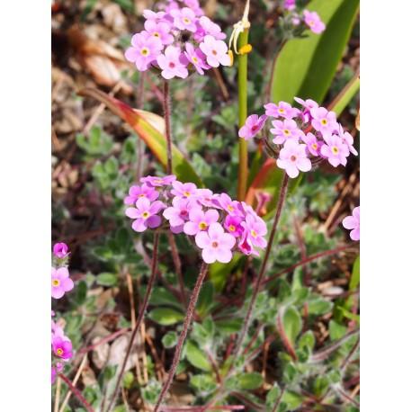 Androsace sarmentosa subsp. primuloides - Androsace sarmenteuse