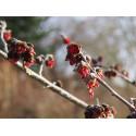 Parrotia persica 'Vanessa' - arbres de fer