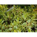Abelia grandiflora x 'Sparkling Silver'