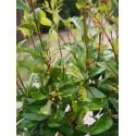 Ligustrum japonicum 'Green Century' - Troènes