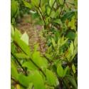 Ligustrum lucidum - troènes luisants