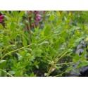 Phillyrea latifolia- filaire à large feuilles