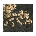 Cytisus praecox x 'Albus' - genêts hybrides, genêts à balais,