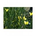 Cytisus praecox x 'Allgold' - Genêt hybride