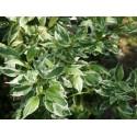 Cornus stolonifera 'White Gold' - Cornouiller