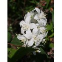 Deutzia hybrida 'Magical Spring'