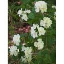 Philadelphus 'Bouquet Blanc' - seringats, seringas,