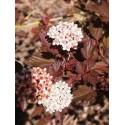 Physocarpus opulifolius 'Diable d'Or'®