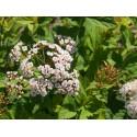 Spiraea formosana - Spirée de Formose
