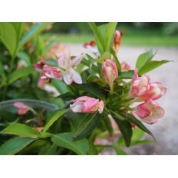 Weigela 'All Summer Peach'
