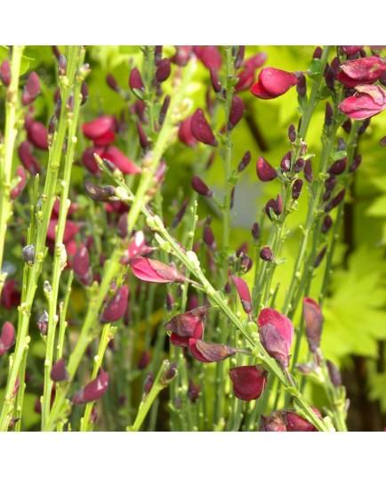 Cytisus scoparius x 'Boskoop Ruby' - genêts hybrides, genêts à balais,