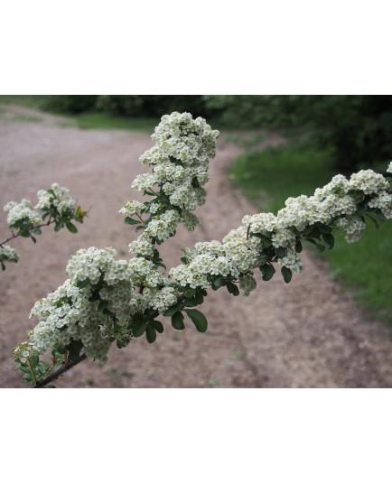 Spiraea nipponica 'Gelspire' - spirée nippone