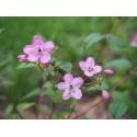 Deutzia elegantissima x 'Rosealind'