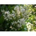 Ligustrum japonicum 'Texanum' -Troène Du Japon