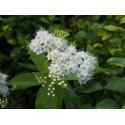 Spiraea japonica 'Albiflora' - Spirée du Japon