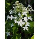 Hydrangea paniculata 'Levana'®