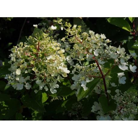 Hydrangea paniculata 'Sundae Fraise'®
