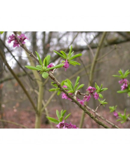 Daphne mezereum - Bois joli, bois gentil