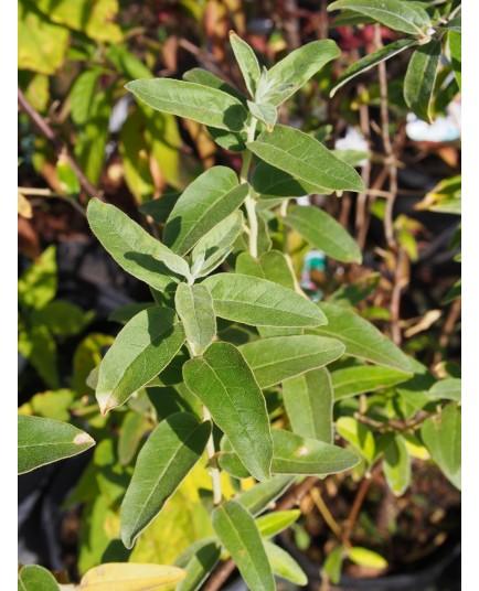 Elaeagnus angustifolia - Olivier de Bohême, Chalef à feuilles étroites