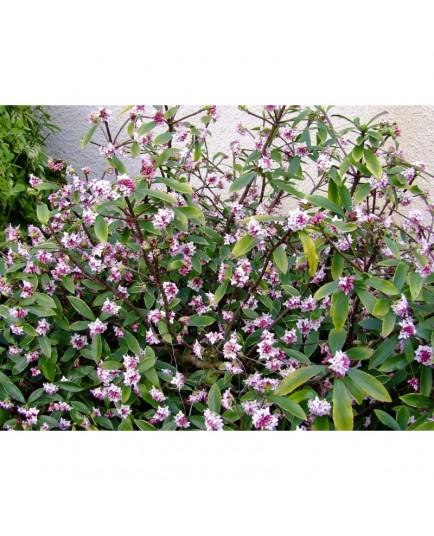 Daphne odora 'Aureomarginata' - Daphné parfumé / Bois joli odorant