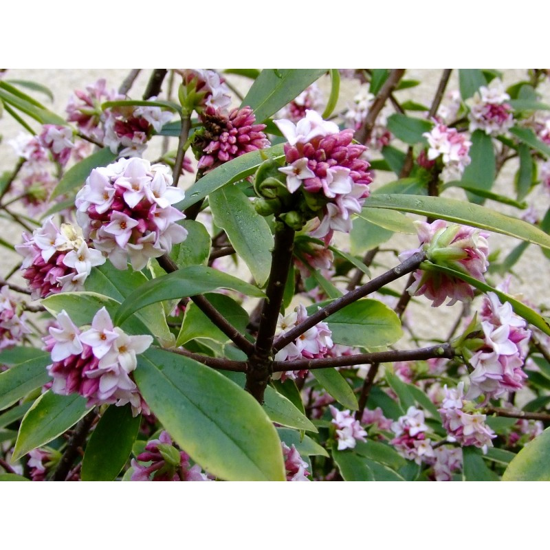 Daphne odora aureomarginata daphn odorant for Arbuste daphne odora aureomarginata