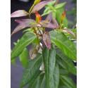 Lonicera henryi 'Copper Beauty' ® - Chèvrefeuille grimpant