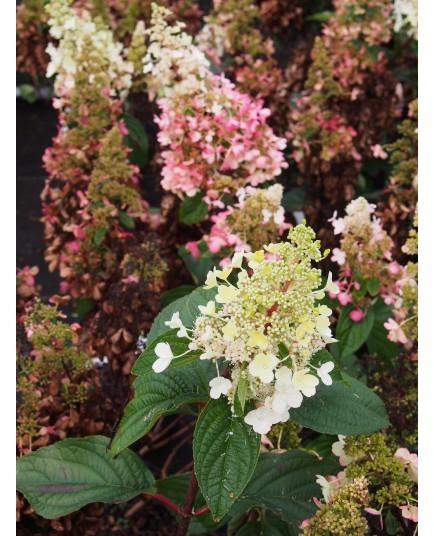 Hydrangea paniculata 'Pinky Winky'