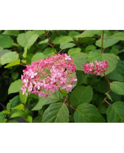 Hydrangea arborescens 'Strong Annabelle'®