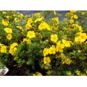Potentilla fruticosa 'Goldteppich' - potentille tapissante
