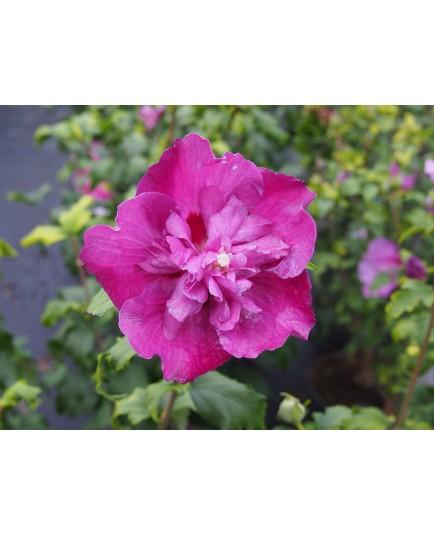 Hibiscus syriacus 'Purple Ruffles'®- althea , ketmie