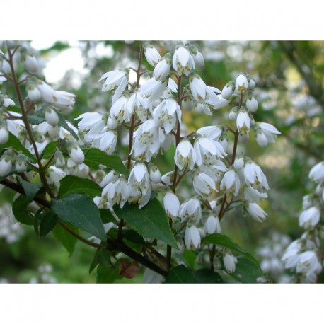 Deutzia ningpoensis