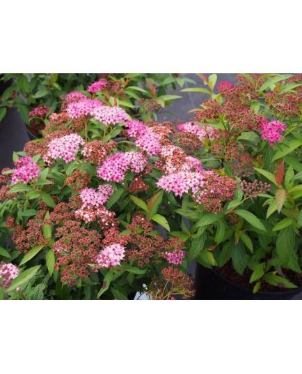 Spiraea japonica 'Anthony Waterer' - Spirée du Japon