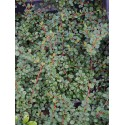 Cotoneaster microphyllus 'Queen of Carpets'