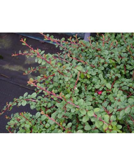 Cotoneaster procumbens 'Streibs Finding' - cotonéasters,