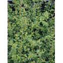 Cotoneaster suecicus x 'Coral Beauty' - cotoneaster rampant