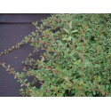 Cotoneaster radicans 'Eichholz'