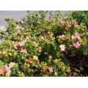 Potentilla fruticosa 'Lovely Pink'® ( Pink Beauty) - potentilles, comarums,