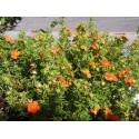Potentilla fruticosa 'Red Ace' - potentilles, comarums,