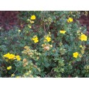 Potentilla fruticosa 'Sommerflor' - potentilles