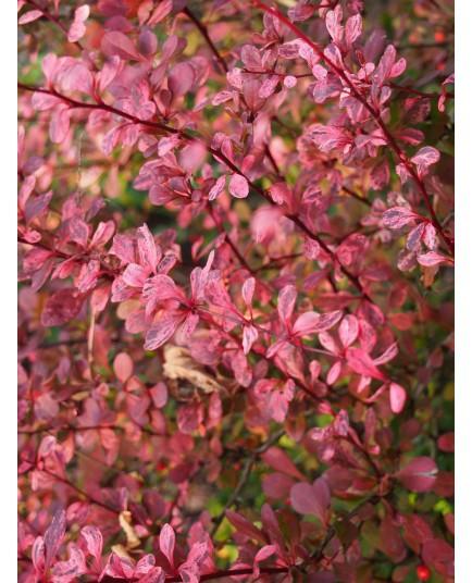 Berberis thunbergii 'Harlequin' - Epine Vinette à feuille panachée