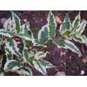 Diervilla sessilifolia 'Coolsplash'®'