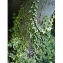 Hedera helix 'Cavendishii' - lierre panaché