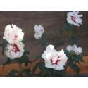 Hibiscus syriacus 'Speciosus' - althea , ketmie