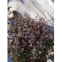 Physocarpus opulifolius 'Little Devil'®'
