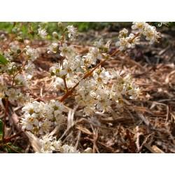 Deutzia gracilis 'Dippon'