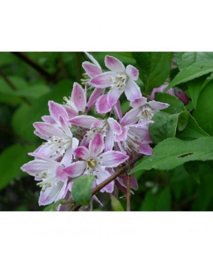 Deutzia hybrida 'Tourbillon Rouge'