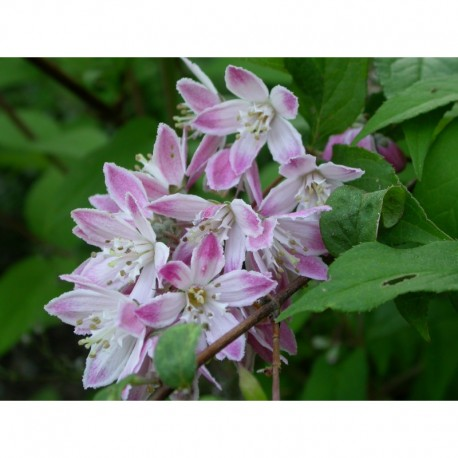 Deutzia hybrida 'Tourbillon Rouge'