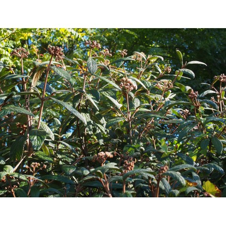 Viburnum rhytidophylloides x 'Holland'